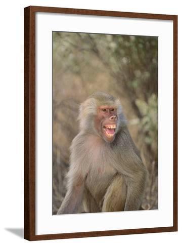 Hamadryas Baboon Baring Teeth-DLILLC-Framed Art Print