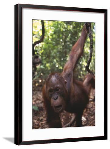 Orangutan in Forest-DLILLC-Framed Art Print