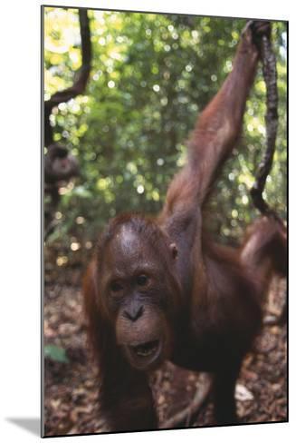 Orangutan in Forest-DLILLC-Mounted Photographic Print