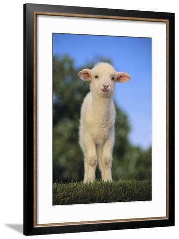 Whitefaced Lamb in the Pasture-DLILLC-Framed Art Print