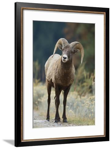 Bighorn Sheep on a Trail-DLILLC-Framed Art Print