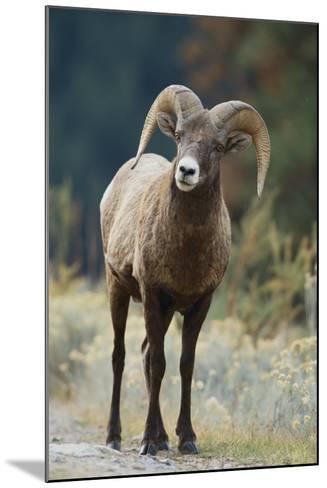Bighorn Sheep on a Trail-DLILLC-Mounted Photographic Print