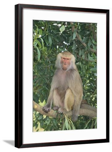 Hamadryas Baboon-DLILLC-Framed Art Print