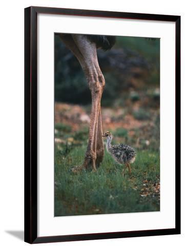 Ostrich Chick with Parent-DLILLC-Framed Art Print