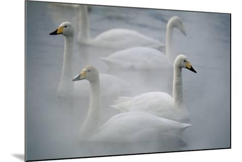 Whooper Swans on Lake-DLILLC-Mounted Photographic Print