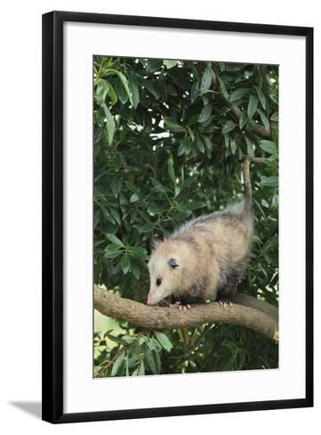 Opossum in Tree-DLILLC-Framed Art Print