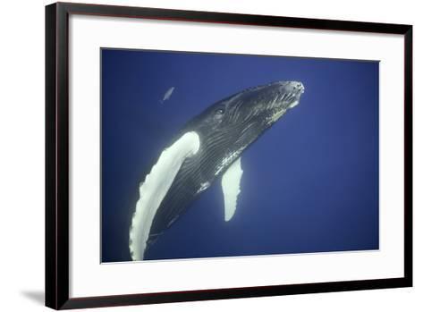 Humpback Whale Calf-DLILLC-Framed Art Print