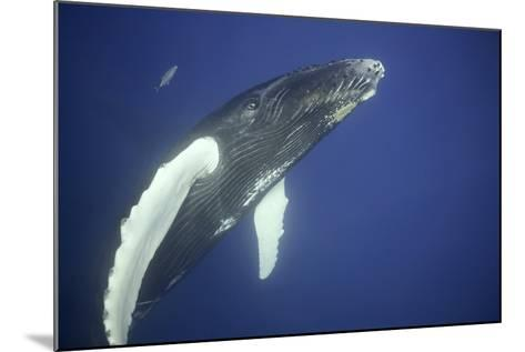 Humpback Whale Calf-DLILLC-Mounted Photographic Print