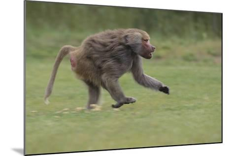 Running Baboon-DLILLC-Mounted Photographic Print