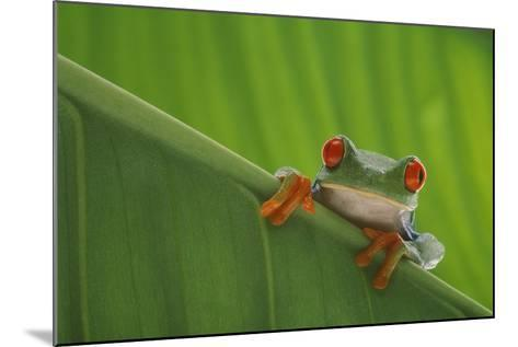 Red-Eyed Tree Frog-DLILLC-Mounted Photographic Print
