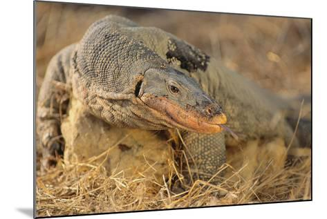 Monitor Lizard-DLILLC-Mounted Photographic Print