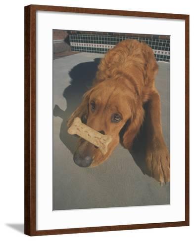 Golden Retriever Balancing Bone on Nose-DLILLC-Framed Art Print