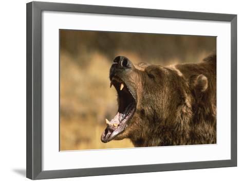 Snarling Grizzly Bear-DLILLC-Framed Art Print