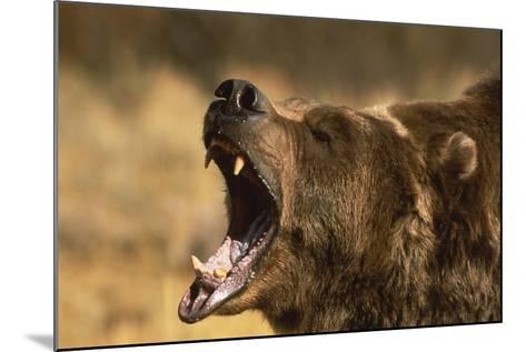 Snarling Grizzly Bear-DLILLC-Mounted Photographic Print