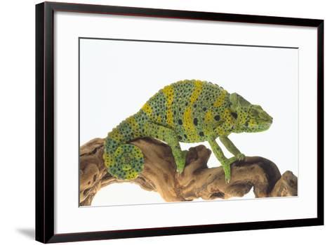 Meller'schameleon-DLILLC-Framed Art Print