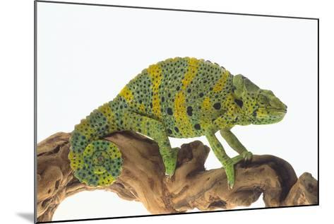 Meller'schameleon-DLILLC-Mounted Photographic Print