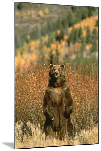 Grizzly Bear Standing-DLILLC-Mounted Photographic Print