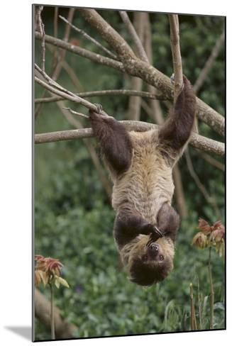 Two-Toed Tree Sloth Hanging from Tree-DLILLC-Mounted Photographic Print