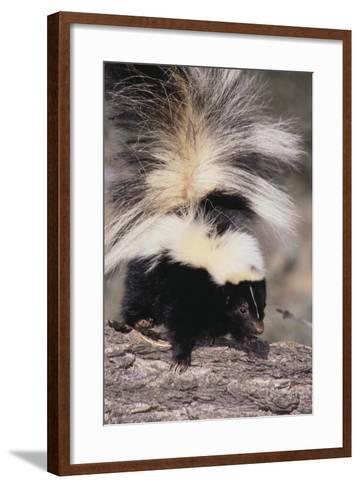 Striped Skunk-DLILLC-Framed Art Print