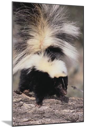 Striped Skunk-DLILLC-Mounted Photographic Print