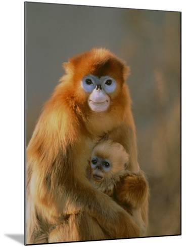 Sichuan Golden Monkey and Baby-DLILLC-Mounted Photographic Print