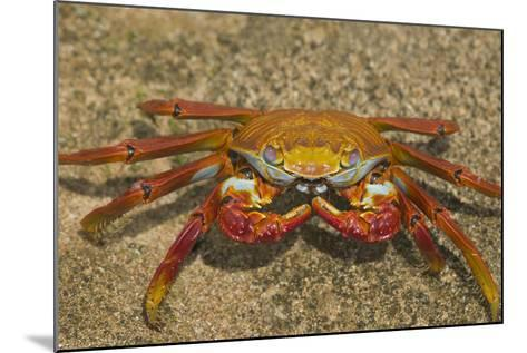 Sally Lightfoot Crab-DLILLC-Mounted Photographic Print