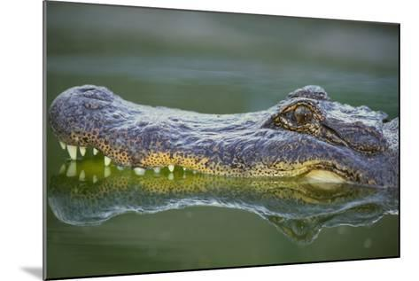 Alligator-DLILLC-Mounted Photographic Print