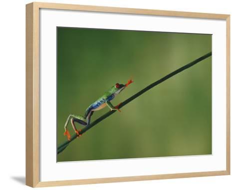 Red-Eyed Tree Frog Climbing Twig-DLILLC-Framed Art Print