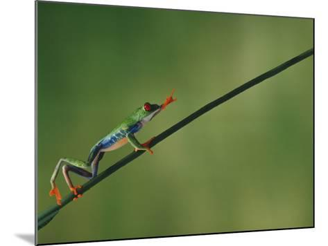 Red-Eyed Tree Frog Climbing Twig-DLILLC-Mounted Photographic Print