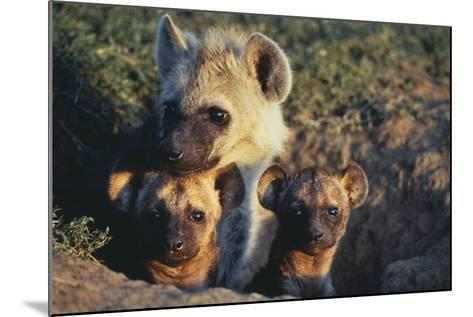 Young Hyenas in Den-DLILLC-Mounted Photographic Print