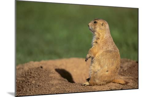 Black-Tailed Prairie Dog-DLILLC-Mounted Photographic Print