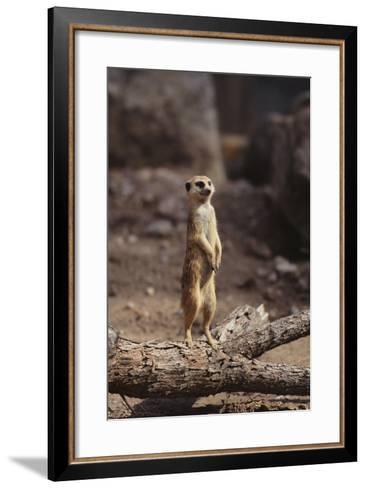 Meerkat Standing Up-DLILLC-Framed Art Print