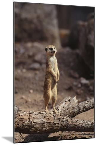 Meerkat Standing Up-DLILLC-Mounted Photographic Print