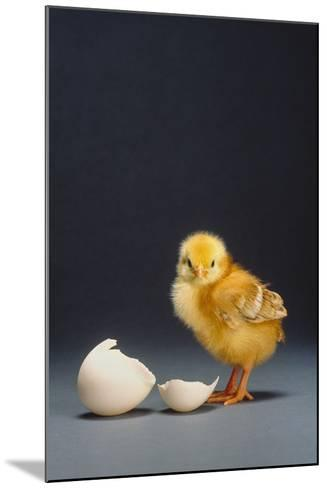 Rhode Island Red Chick and Eggshell-DLILLC-Mounted Photographic Print
