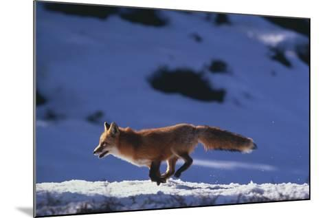 Red Fox Running in Snow-DLILLC-Mounted Photographic Print