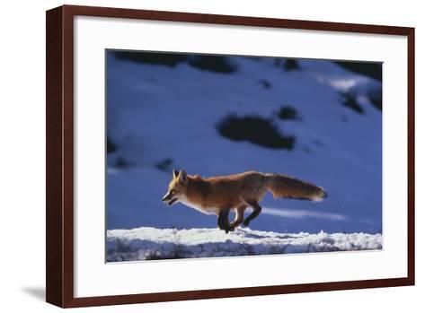 Red Fox Running in Snow-DLILLC-Framed Art Print
