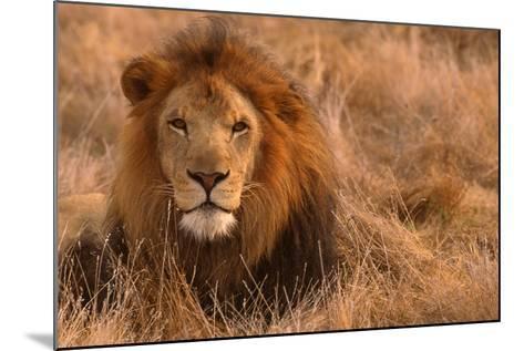 Lion-DLILLC-Mounted Photographic Print