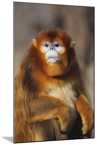 Sichuan Golden Monkey-DLILLC-Mounted Photographic Print