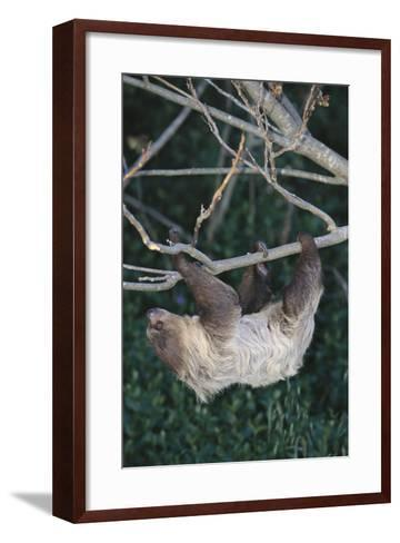 Two-Toed Tree Sloth Hanging from Tree-DLILLC-Framed Art Print