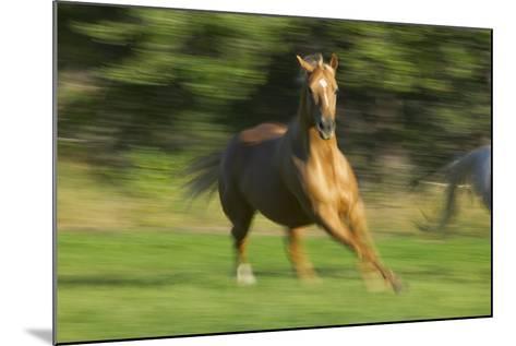 Quarter Horse Galloping-DLILLC-Mounted Photographic Print