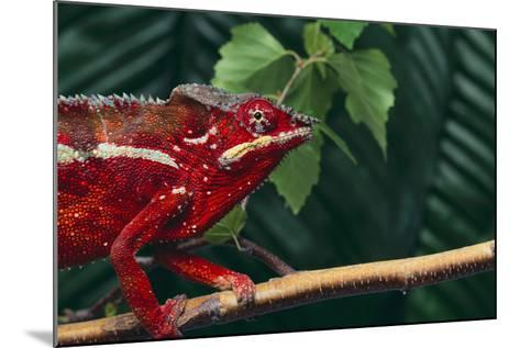 Panther Chameleon-DLILLC-Mounted Photographic Print