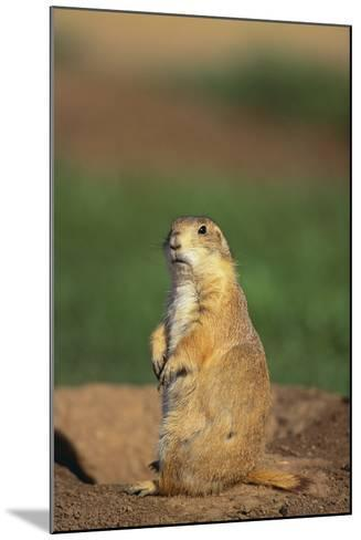 Alert Prairie Dog-DLILLC-Mounted Photographic Print