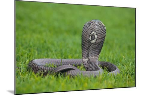 Cobra-DLILLC-Mounted Photographic Print