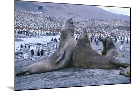 Southern Elephant Seals-DLILLC-Mounted Photographic Print