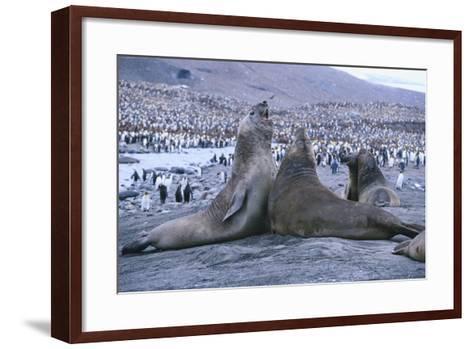 Southern Elephant Seals-DLILLC-Framed Art Print