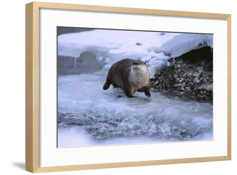 River Otter on Icy Riverbank-DLILLC-Framed Art Print