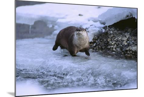 River Otter on Icy Riverbank-DLILLC-Mounted Photographic Print