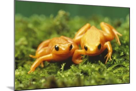 Golden Frogs-DLILLC-Mounted Photographic Print