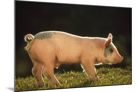 Yorkshire and Hampshire Mixed Breed Piglet-DLILLC-Mounted Photographic Print
