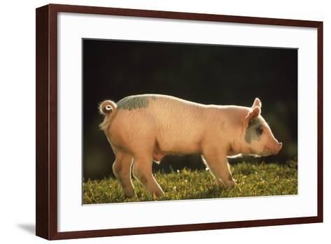 Yorkshire and Hampshire Mixed Breed Piglet-DLILLC-Framed Art Print